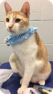 Domestic Shorthair Cat for adoption in St. Louis, Missouri - Quinn