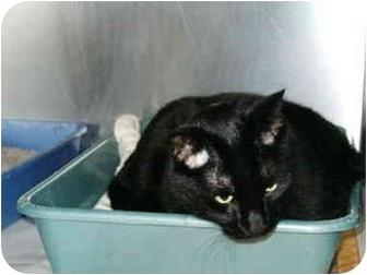 Domestic Shorthair Cat for adoption in Mason City, Iowa - Jazz