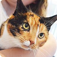 Domestic Shorthair Cat for adoption in Lincoln, Nebraska - Little Cat
