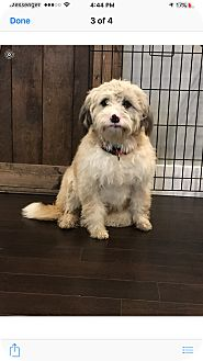Poodle (Standard) Mix Dog for adoption in Woodstock, Georgia - Cody