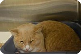 Domestic Shorthair Cat for adoption in Worcester, Massachusetts - Caddy