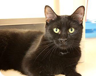Domestic Shorthair Cat for adoption in Harrisonburg, Virginia - Nymeria