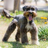 Adopt A Pet :: Chester - La Jolla, CA