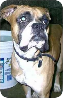 Boxer Dog for adoption in Charleston, West Virginia - Jake