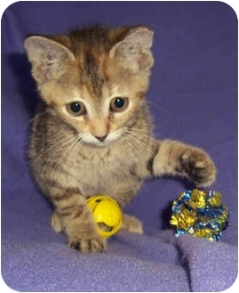 Domestic Shorthair Kitten for adoption in Brighton, Michigan - Lucy