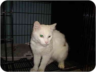 Domestic Longhair Cat for adoption in Baton Rouge, Louisiana - Mickey D