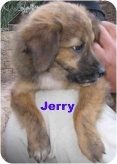 Shepherd (Unknown Type)/Belgian Shepherd Mix Puppy for adoption in Poway, California - Jerri