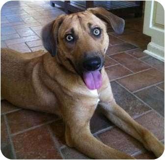 Labrador Retriever Mix Dog for adoption in Haughton, Louisiana - Buddy