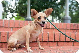 Chihuahua Mix Dog for adoption in Houston, Texas - Spark