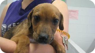 Labrador Retriever/Australian Cattle Dog Mix Puppy for adoption in Danielsville, Georgia - John Boy