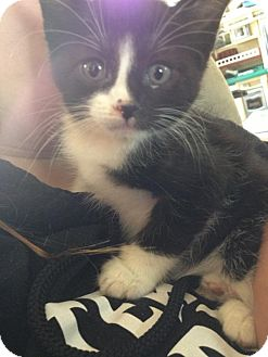 Domestic Shorthair Kitten for adoption in Tillamook, Oregon - Nemo