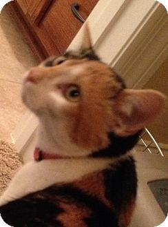 Japanese Bobtail Cat for adoption in Huntsville, Alabama - Gigi (BOBTAIL)