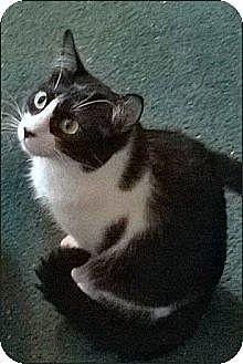 Domestic Shorthair Cat for adoption in Atlanta, Georgia - Harley