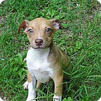Adopt A Pet :: Sam-Fee Reduced $175 - Bel Air, MD