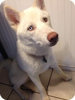 Husky Mix Puppy for adoption in waterbury, Connecticut - Dakota