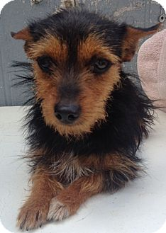 Chihuahua/Yorkie, Yorkshire Terrier Mix Puppy for adoption in East Hartford, Connecticut - Tiny Too-pending adoption