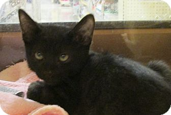 Domestic Shorthair Kitten for adoption in Pueblo West, Colorado - Brillo