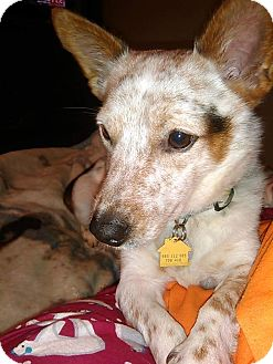 Cattle Dog Mix Dog for adoption in Ooltewah, Tennessee - Remy