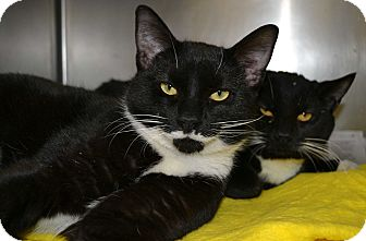 Domestic Shorthair Cat for adoption in Mineral, Virginia - Cinders