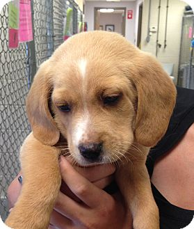 Beagle Mix Puppy for adoption in Greensburg, Pennsylvania - Romeo