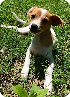 Chihuahua Puppy for adoption in Allentown, Pennsylvania - Huron