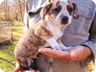 Corgi/Dachshund Mix Puppy for adoption in Williston Park, New York - Swifty