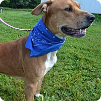Retriever (Unknown Type) Mix Dog for adoption in East Smithfield, Pennsylvania - Buddie