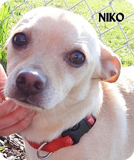 Chihuahua/Corgi Mix Dog for adoption in Lapeer, Michigan - NIKO--SWEET BOY!