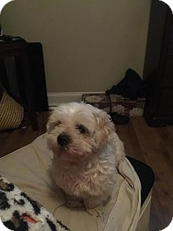 Yorkie, Yorkshire Terrier/Miniature Poodle Mix Dog for adoption in Mount Royal, New Jersey - Rico