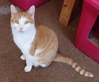 Domestic Shorthair Cat for adoption in Speedway, Indiana - Luke