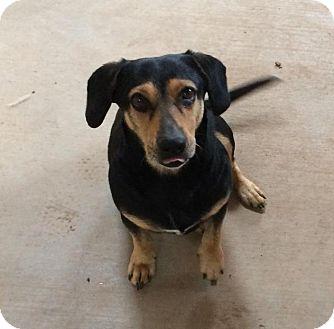 Dachshund Mix Dog for adoption in Post, Texas - Rosie