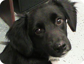 Spaniel (Unknown Type)/Chihuahua Mix Dog for adoption in Maynardville, Tennessee - Shadow