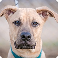 Boxer/Pit Bull Terrier Mix Dog for adoption in Evansville, Indiana - Brutus