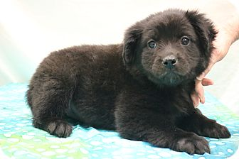 Labrador Retriever/Border Collie Mix Puppy for adoption in Hagerstown, Maryland - Zoey