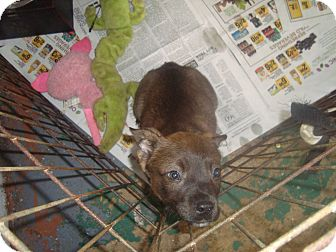 American Staffordshire Terrier Mix Puppy for adoption in Old Bridge, New Jersey - Taz