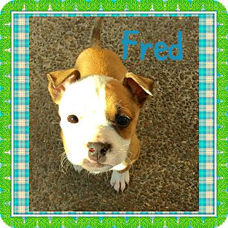 Boxer/Bulldog Mix Puppy for adoption in Brattleboro, Vermont - FRED AND RICKY