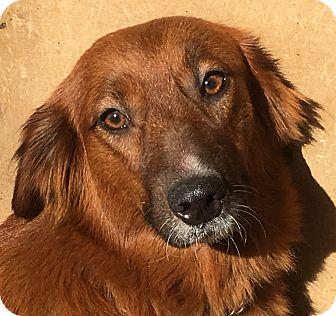 Golden Retriever/Labrador Retriever Mix Puppy for adoption in Hagerstown, Maryland - Goldie