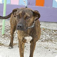 Adopt A Pet :: Maya - Englewood, FL