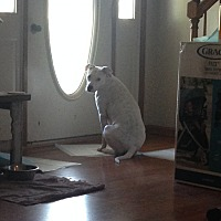 American Pit Bull Terrier/Labrador Retriever Mix Dog for adoption in Danville, Virginia - Blue