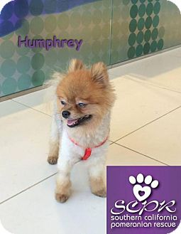 Pomeranian Dog for adoption in Studio City, California - Humphrey