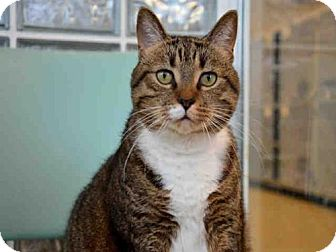 Domestic Mediumhair Cat for adoption in West Palm Beach, Florida - MACY