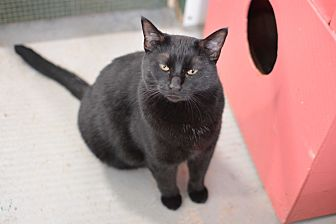 Domestic Shorthair Cat for adoption in Grinnell, Iowa - Martin