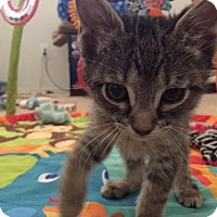 Domestic Shorthair Kitten for adoption in Chandler, Arizona - Groot