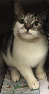 Domestic Shorthair/Domestic Shorthair Mix Cat for adoption in Clarkesville, Georgia - Bella