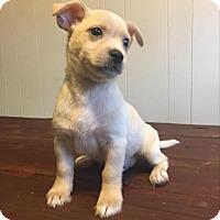 Adopt A Pet :: Saffron - Paprika Pup - Encino, CA