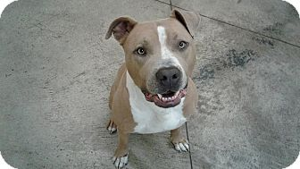 American Staffordshire Terrier Mix Dog for adoption in SHELBY TWP, Michigan - Jaxon