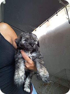 Schnauzer (Miniature)/Yorkie, Yorkshire Terrier Mix Puppy for adoption in LAKEWOOD, California - Dee dee