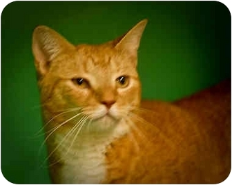 Domestic Shorthair Cat for adoption in Montclair, New Jersey - Scarlet