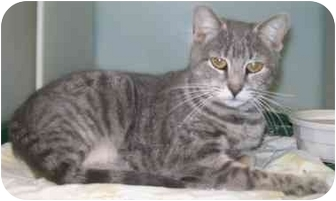 Domestic Shorthair Cat for adoption in Howes Cave, New York - Liberty