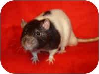 Rat for adoption in Winner, South Dakota - Jarrett